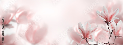 Fototapeta Closeup of blooming magnolia tree in spring on pastel bokeh background. obraz
