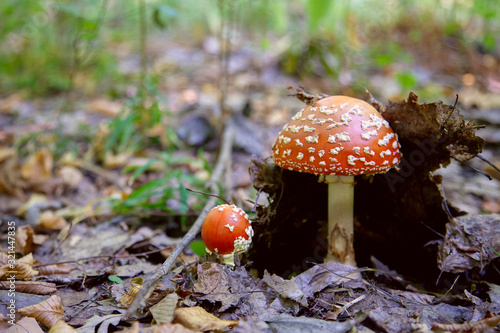 Photo Mushroom family of Amanita muscaria, commonly known as the fly agaric or fly amanita