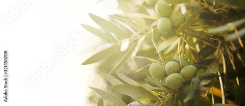 Fotografia, Obraz Closeup of olive fruit on tree branch.