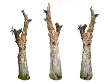 Dead Perennial Trees Isolated On A White Background, Decaying Mango Trees.