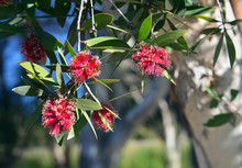 Red Flowers And White Bark Of The Broad-leaved Paperbark, Melaleuca Viridiflora, Family Myrtaceae. Native To Tropical Northern Australia And South East Asia.