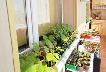 A Lot Of Green Seedlings Of Ve...