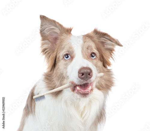 Fototapety, obrazy: Border collie dog holds toothbrush in it mouth. isolated on white background