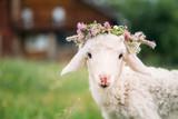 Fototapeta Zwierzęta - Baby lamb with flower crown
