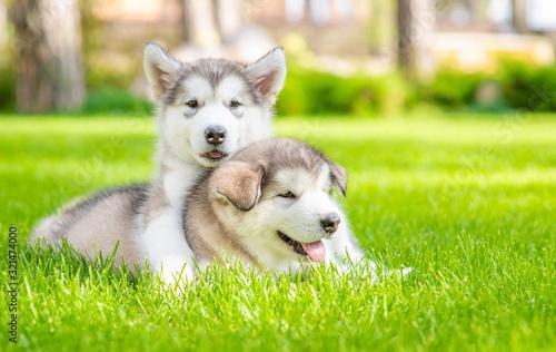 Two playpul alaskan malamute puppies lie on green summer grass with tennis ball Fototapet