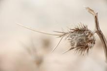 Dry Thorn