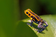 Mimic Poison Frog, Ranitomeya imitator Jeberos is a species of poison dart frog found in the north-central region of eastern Peru. Its common name include mimic poison frog and poison arrow frog,