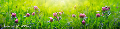 Clover flowers field in sunset.Nature meadow background.