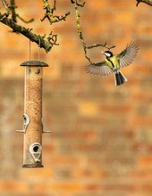 Great Tit Taking A Peanut From...