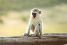 Monkey Child Sitting On Wooden...