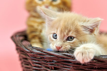 Maine Coon Kittens In Basket, ...