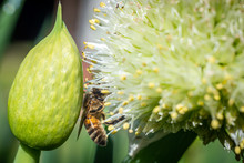 Spring Onion With Bee