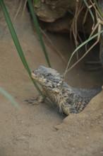 Sungazer, Giant Girdled Lizard...