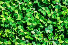 Lush And Green Clover Texture