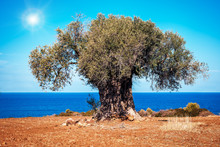 Old Olive Tree Under The Sun O...