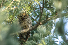 Barred Owl Perching Well Hidde...