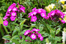 Tall Pink Perennial Phlox In T...