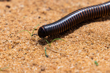A Giant African Millipede Or S...