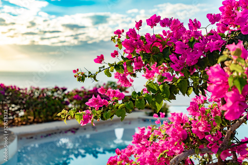 Fototapety, obrazy: A beautiful bunch of tropical trinitaria flowers. Bougainvillea pink blooms. Fresh dominican flowers at sunset near a pool.