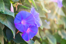Common Morning Glory On A Fenc...