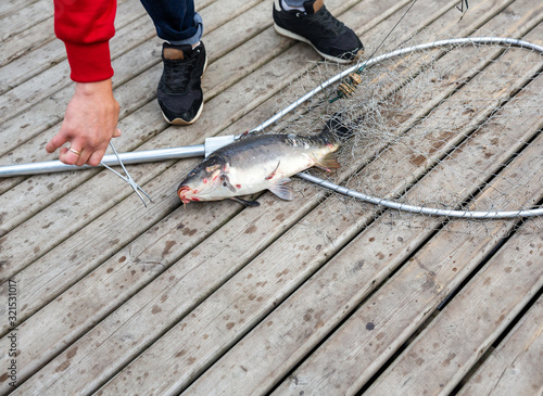 Fotomural Fisherman removes from the hook freshly caught fish carp in landing net closeup,