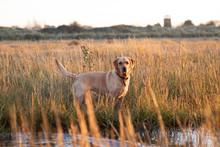 Fox Red Golden Labrador In Lon...