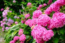 Blooming Pink Hortensia Flowers In Garden