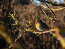 Germany, European Robin  (Erit...