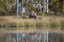 Finland, Kuhmo, Brown Bear(Ursus Arctos)family At Boreal Forest Lakeshore In Autumn
