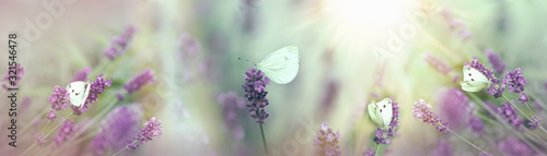 Fototapeta Selective focus on white butterflies in lavender garden obraz