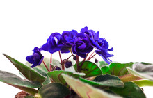 Potted Blue African Violet Isolated On A White Background.