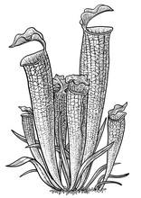 Carnivorous Plant, Pitcher Plant Illustration, Drawing, Engraving, Ink, Line Art, Vector