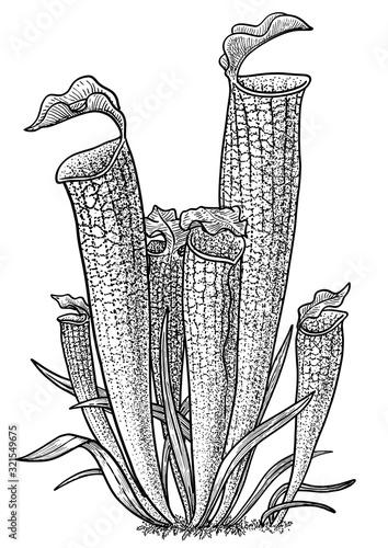 Fototapeta Carnivorous plant, pitcher plant illustration, drawing, engraving, ink, line art, vector obraz