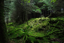 Dark Forest Scene. Old Mossy F...