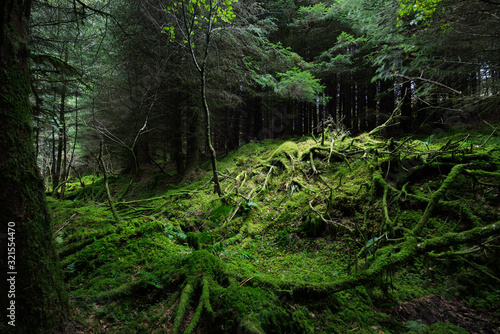 Fototapeta Dark forest scene. Old mossy fir trees and fern leaves close-up, tree trunks in the background. Ardrishaig,  Loch Fyne, Crinan Canal, Argyll and Bute, Scotland, UK obraz