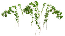 Ivy With Lush Green Foliage. Climbing Plant In Summer Isolated On White Background. Tropical Vegetation. Wild Vines Leaves.
