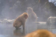 Japanese Snow Monkey Drinks Ho...