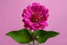 Bright Pink Zinnia Flower Isolated On Pink Background.
