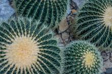"""Golden Barrel """"Echinocactus Grusonii"""" Cactus Plants In Macro. Dark Green With Golden Needles Shot In Natural Light On Stone Ground."""