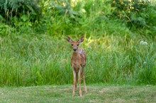 Spotted Fawn In Yard