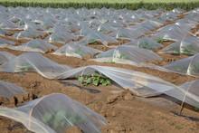 Watermelon Or Melon Planting I...