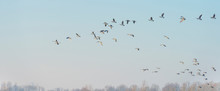 Geese Flying Over The Landscape Of A Natural Park In Winter