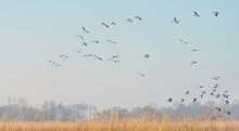 Geese Flying Over The Landscap...