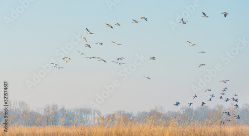 Geese flying over the landscape of a natural park in winter Canvas Print