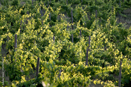Foto Grapes grow on vines in a vineyard in the Chianti region of Tuscany in Italy near Siena