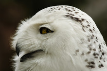 Close Up Of Snowy Owl (Bubo Sc...