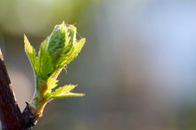 Young Inflorescence Of Grapes ...