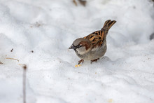 House Sparrow In The Snow Looking For Food