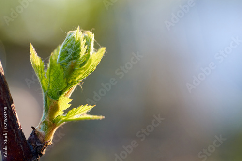 Young inflorescence of grapes on the vine close-up.Grape vine with young leaves and buds blooming on a grape vine in the vineyard. Spring buds sprouting/New leaves sprouting at the beginning of spring
