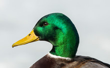 Duck. Mallard Duck, Male On Th...